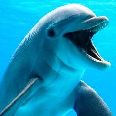 Bottle nose dophin